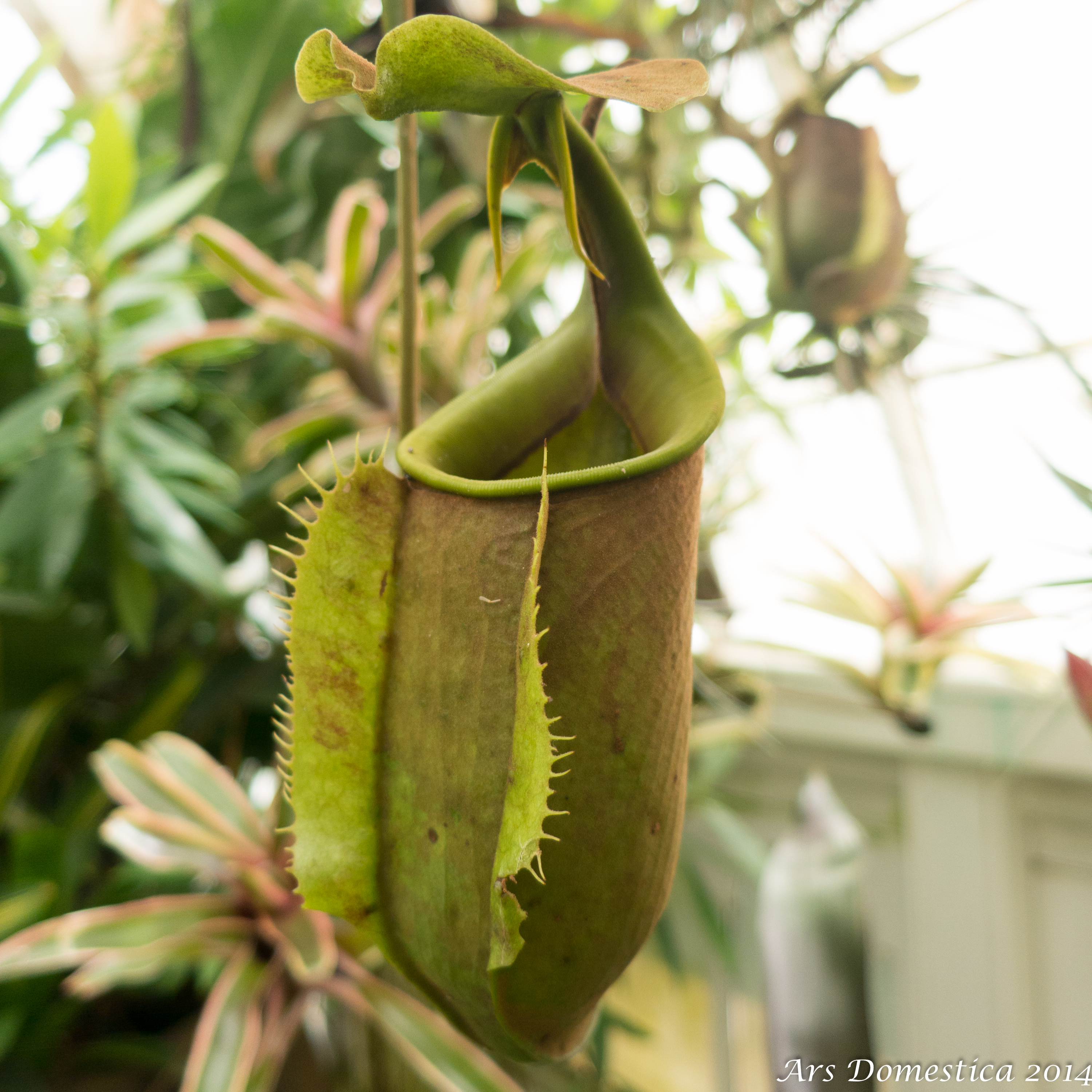 Fanged Pitcher Plant Fanged Pitcher Plant